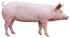 cochette porc