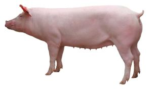 cohette élevage porcin reproductrice